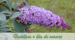 Buddleia lila de verano.