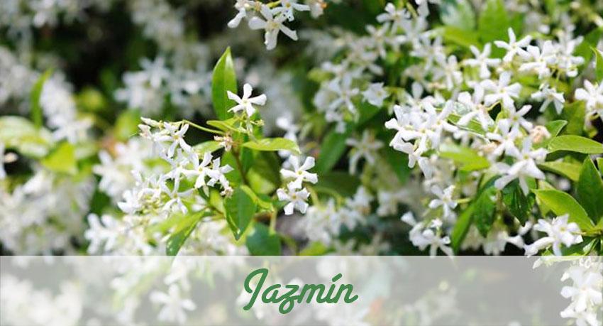 El Jazmín aparte de su virtud de enredadera nos presta un gran aroma.