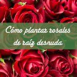 Cómo plantar rosales de raíz desnuda