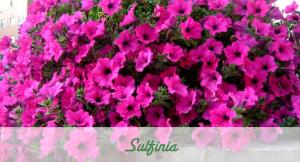 Sulfinia Flor de temporada