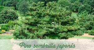 Tipo de conífera pino sombrilla japonés.