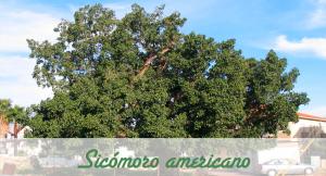 Sicómoro Americano otro árbol de sombra para nuestro jardín.