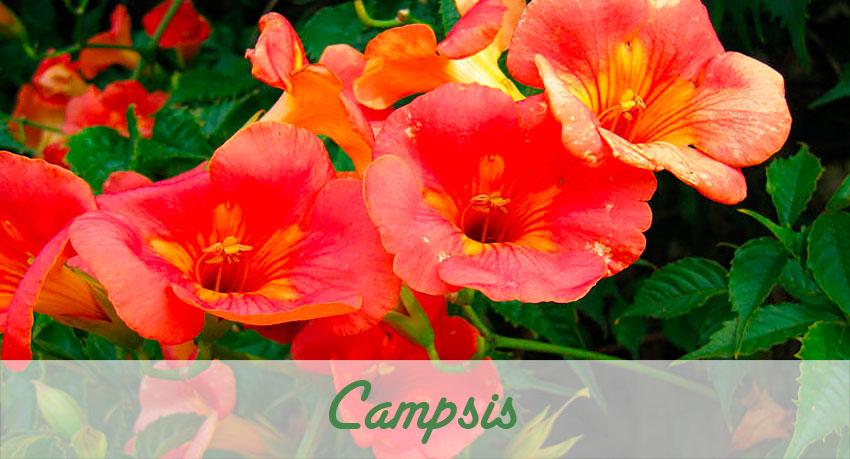 Campsis flor enredadera