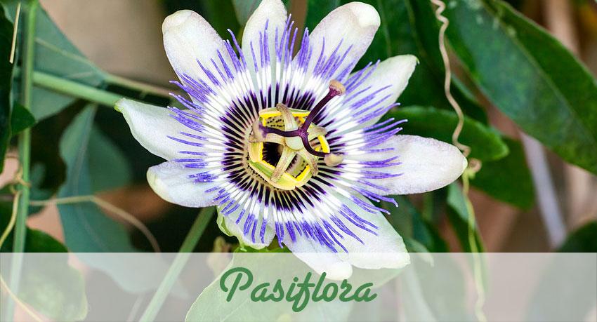 Una gran flor enredadera Pasiflora.