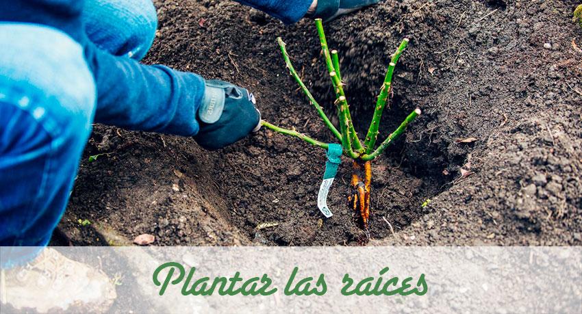 Plantar raíces de rosal