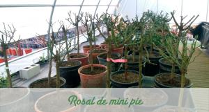 Rosal de mini pie
