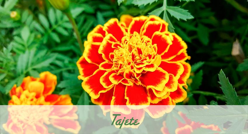 Tajete flor de temporada.