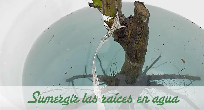 Sumergir en agua las raíces del rosal